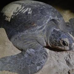 Green turtle in sand
