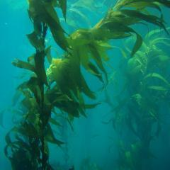 long stalks of kelp underwater