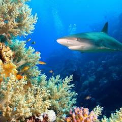 a shark approaches a coral bommie