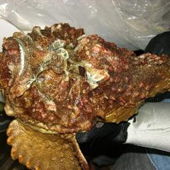 Large stonefish held by a gloved hand