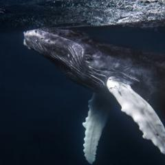 Humpback Whale (Christopher Michel)